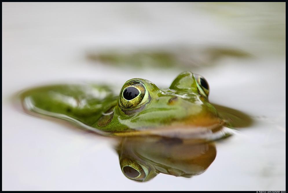 Veekonn, Waterfrog, Rana esculenta, roheline konn, green frog