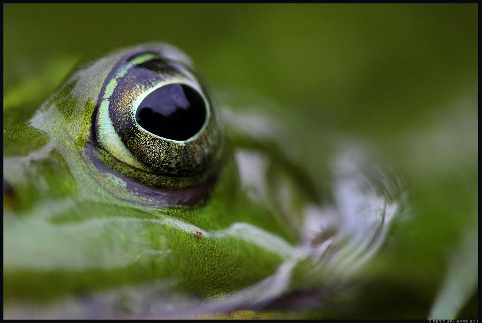 Veekonn, Waterfrog, Rana esculenta