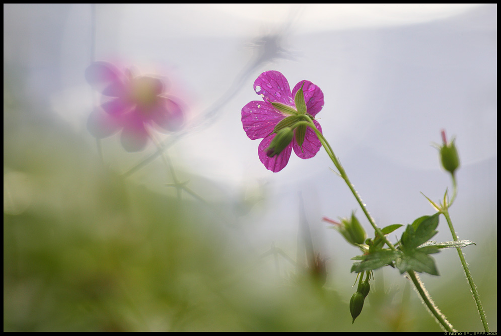 Verev kurereha, Bloody Cranesbill, Geranium sanguineum  Remo Savisaar Eesti loodus Estonian Estonia Baltic nature wildlife photography photo blog loodusfotod loodusfoto looduspilt looduspildid