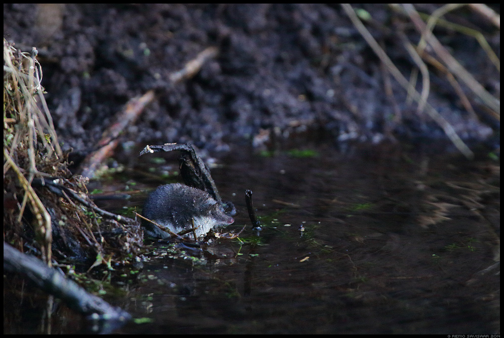 Vesimutt, Eurasian water shrew, Neomys fodiens Remo Savisaar Eesti loodus Estonian Estonia Baltic nature wildlife photography photo blog loodusfotod loodusfoto looduspilt looduspildid