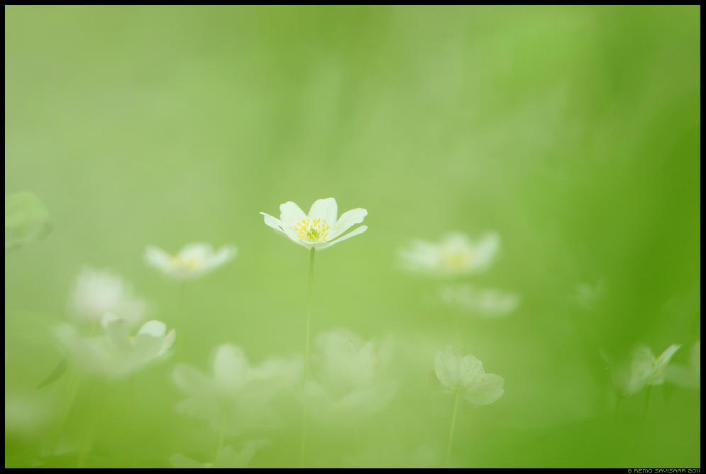 Ülane, Wood Anemone, Anemone nemorosa, lill, lilled, kevad, flower, spring